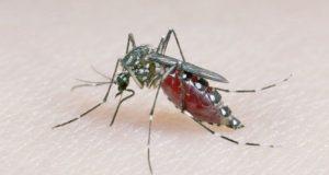 زیکا پر قابو پانے کے لیے برازیل اور کمبوڈیا میں کروڑوں مچھر چھوڑے جائیں گے