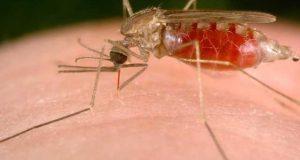 خون کے خلیات کے ذریعے ملیریا کے علاج کی امید