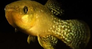 انتہائی زہریلے ماحول میں زندہ رہنے والی مچھلی دریافت