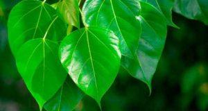 پیپل کے درخت کے غیرمعمولی فوائد