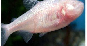 ذیا بیطس کے مرض کو جڑ سے ختم کرنے کا علاج ایک مچھلی میں دریافت