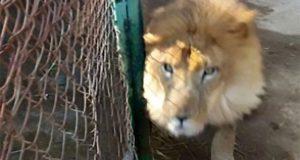 امریکا میں ذرا سی لاپروائی پر رکھوالا شیر کا نوالا بن گیا