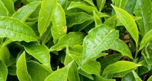 چائے کی پتیوں سے بنے ''کوانٹم ڈاٹس'' پھیپھڑوں کے سرطان کے خلاف مؤثر
