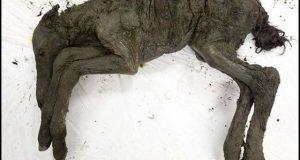 سائیبریا سے زمانہ قدیم کے گھوڑے کی حنوط شدہ لاش دریافت