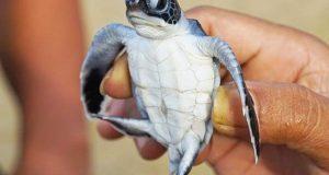 سمندری پلاسٹک، کچھووں کے 40 فیصد بچوں کو ہلاک کررہا ہے