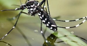 چین نے جینیاتی تجربے کے ذریعے خطرناک مچھر کی نسل ہی ختم کردی