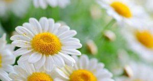ایک عام پھول میں کینسر کے خلاف اہم مرکب دریافت