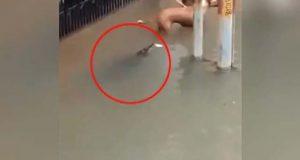سیلابی ریلے کے ساتھ مگرمچھ بھی رہائشی علاقے میں داخل، ویڈیو وائرل